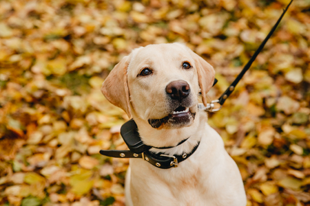 labrador Dog with Electric shock collar on outdoor. 写真素材