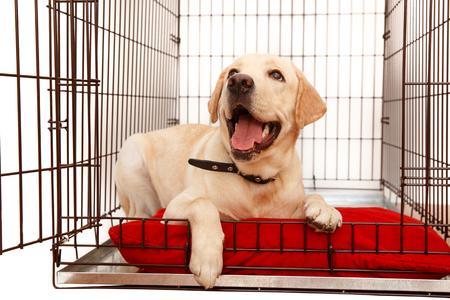 Pies w klatce. Na białym tle. Szczęśliwy labrador leży w żelaznym pudełku