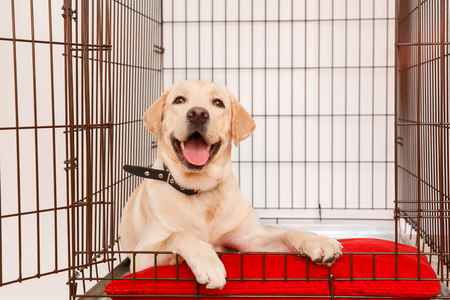Dog in cage. Isolated background. Happy labrador lies in an iron box Stok Fotoğraf - 88487578