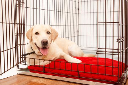 Hond in kooi. Geïsoleerde achtergrond. Happy labrador ligt in een ijzeren kist