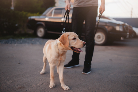 Labrador puppy teen sitting on the asphalt, outdoors. Concept dog in the city