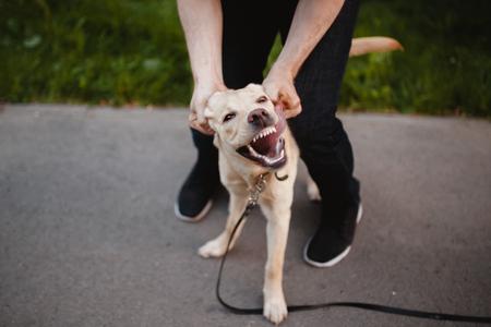 La rage est un chien. Un homme essaie de faire face à un animal domestique, qui attaque ses dents et le mal. Labrador