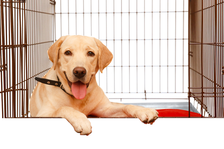 Dog in cage isolated background. Happy labrador lies in iron box. Copy space