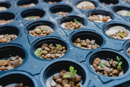 Cannabis seedlings in legalized farm house. Home seedlings of hemp