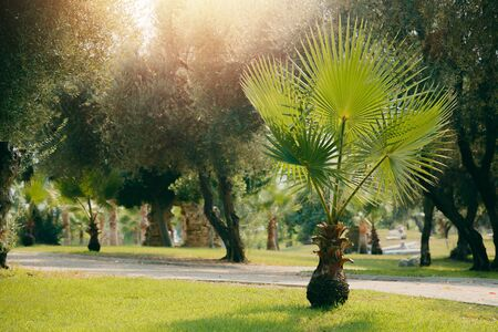 young palm park. Green plants and trees in hot climates. Concept of relaxation in the park of Turkey