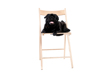 Black pug on white isolated background. Sits in a chair, looks at the camera. 版權商用圖片 - 97560682