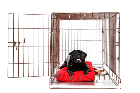Dog in Crate Cage. Happy black pug in iron box. Isolated background. opened door Stock Photo