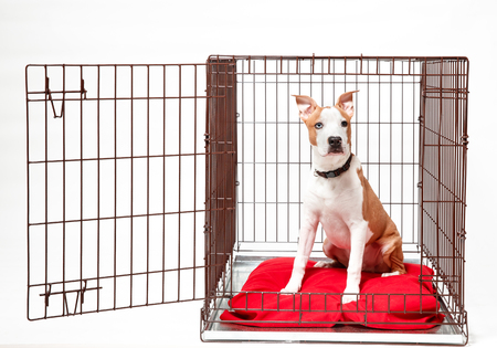 Dog in cage. Isolated background. Happy AST American staffordshire terrier lies in an iron box Stock Photo