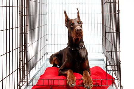 Dog in cage. Isolated background. Happy doberman lies in an iron box Stock Photo