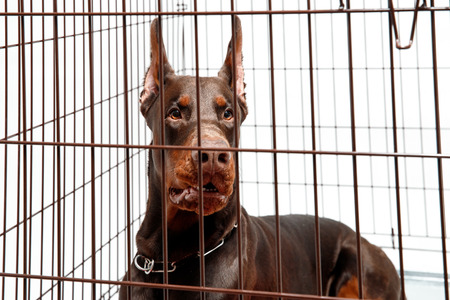 Dog in cage. Isolated background. Happy doberman misses owner. Stock Photo