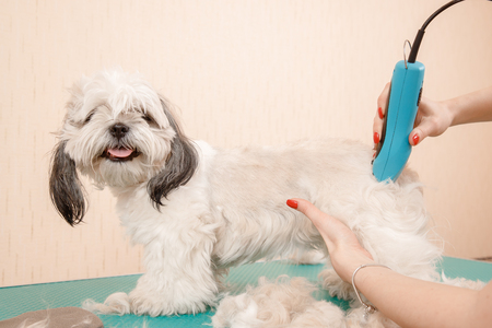 Woman groomer shears dog from excess wool haircut pet, Hands holding trimmer