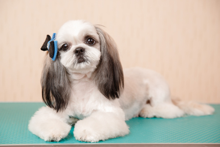 Closeup haircute dog grooming. Concept before and after Shih tzu shear