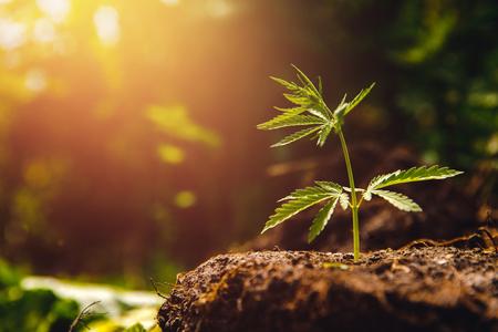 Bush marihuana-cannabis op onscherpe achtergrond bij zonsondergang. Stockfoto