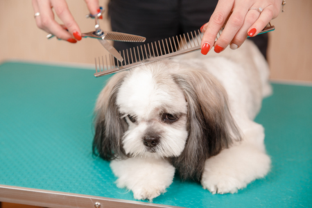 Shih tzu puppy dog sits on groomer table with hairpin adornment on his head