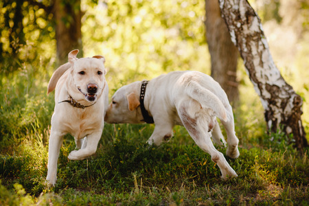 Dogs retriever flee to each other get acquainted. Concept wedding