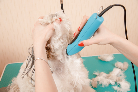 Dog on haircut in specialized hairdresser groomer Shih tzu shear wool 免版税图像