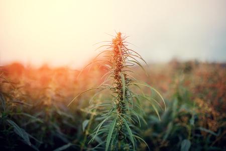 Bush Flowering herb hemp with seeds and flowers sun glint background. Concept breeding of marijuana, cannabis, legalization. Stock Photo - 106838334