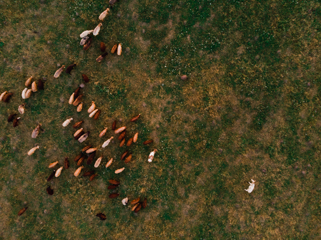 Herd of sheep grazing on field, top view, aerial drone