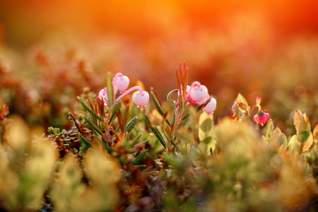 Close-up of moss sunlight sunset. Concept arctic plants, food for deer. Stock Photo