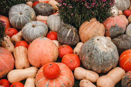 Background of autumn yellow, orange pumpkins patch agriculture