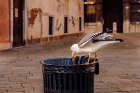 Sea gull rummaging in dustbin and pulls out plastic bag. Concept pollution environment, asphyxiation of animals from human waste. Stock Photo
