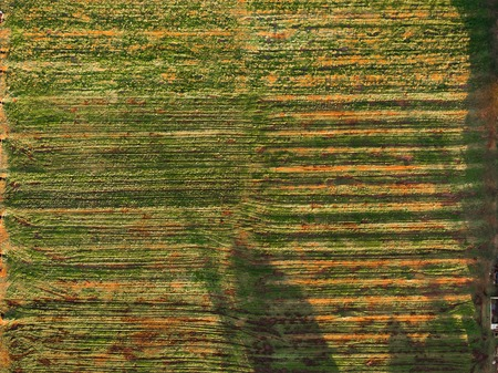 Plowed autumn plantation, horizontal rows of plantings with yellowed leaves from birds-eye view close-up