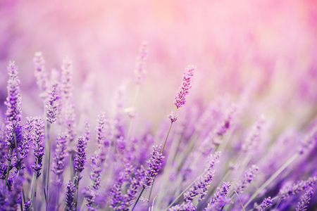 Closeup of lavender, purple tone sunlight. Fabulous magical artistic image of dream, copy space. Фото со стока