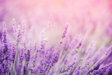 Gros plan de lavande, lumière du soleil ton violet. Fabuleuse image artistique magique de rêve, espace de copie. Banque d'images