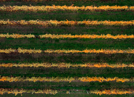Autumn plantation with horizontal rowlines, alternation of yellow and green bushes, leaves. Top view aerial drone