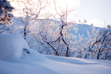 Snow-covered trees in focus, foreground blurred, cold frosty morning.