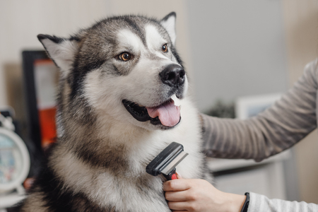 Big husky with brown eyes looking into frame, her neck combed brush.