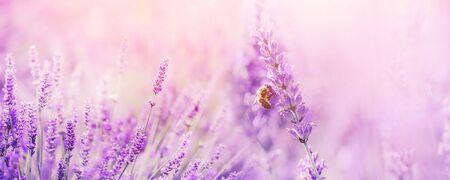 Banner campo de lavanda púrpura con mariposas y abejas al atardecer. Copia espacio Foto de archivo