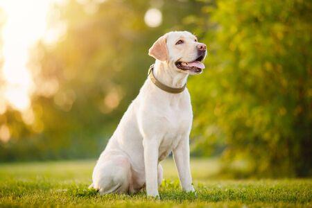 Aktiver, lächelnder und glücklicher reinrassiger Labrador Retriever-Hund im Freien im Graspark an sonnigen Sommertagen Standard-Bild