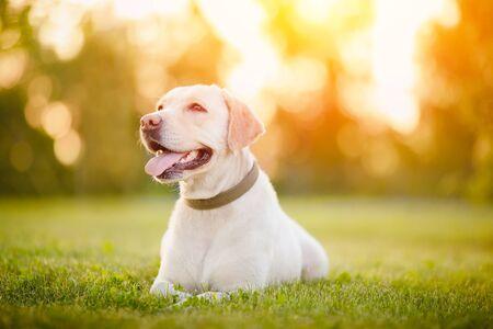 Heureux chien labrador souriant à l'extérieur le jour du coucher du soleil.
