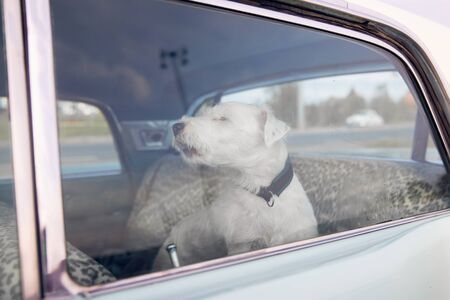 Dog alone is locked in car on heat hot day, howls and whines, asks for water on sunny summer.