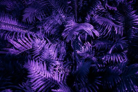 Ultra violet moody color nature background trend. Tropical leaves of fern plant Imagens