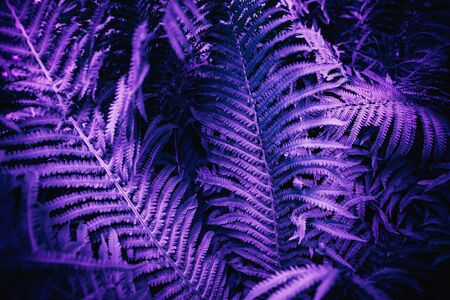 Ultra violet moody color nature background trend. Tropical leaves of fern plant. Foto de archivo - 132124992
