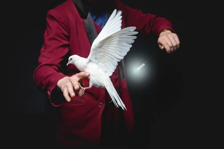 Magician man shows trick with trained white dove bird and magic wand
