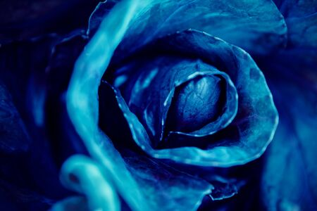 Cyan blue cabbage natural background flora from flowers, macro photo Banque d'images - 132244262