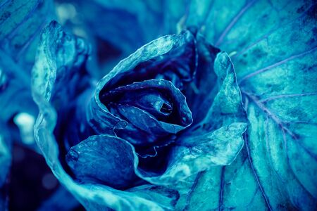 Cyan blue cabbage natural background flora from flowers, macro photo Banque d'images - 132244332