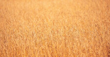 Ripe wheat field in gold color, natural sunlight background banner. 写真素材