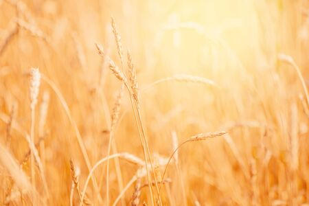 Wheat field closeup ripe in gold color, natural background. Harvest concept