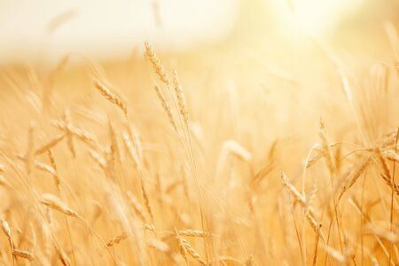 Ripe wheat field in gold color, natural sunlight background