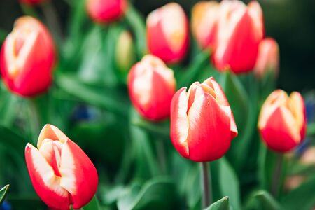Red tulips in flower market. Natural background.