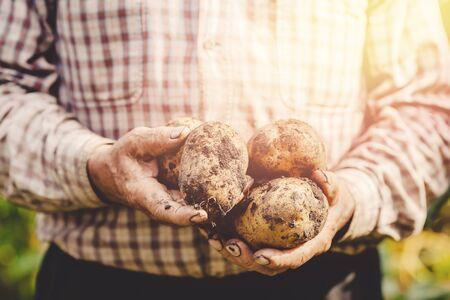 Hands elderly farmer holds raw potatoes in soil. Eco vegetables concept.