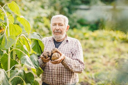 Farmer elderly man with beard holds fresh potatoes in hands. Eco vegetables concept