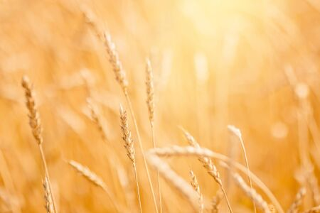 Ripe wheat field in gold color, natural sunlight background. 写真素材