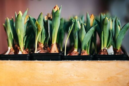 Tulip bulbs sprouted in wooden box flower shop. Stock Photo