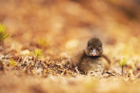 Chick duck sitting in grass of forest, lost by mom