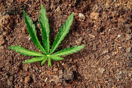 Cannabis on dark soil background. Marijuana leaves green copy space Stock fotó - 133397241
